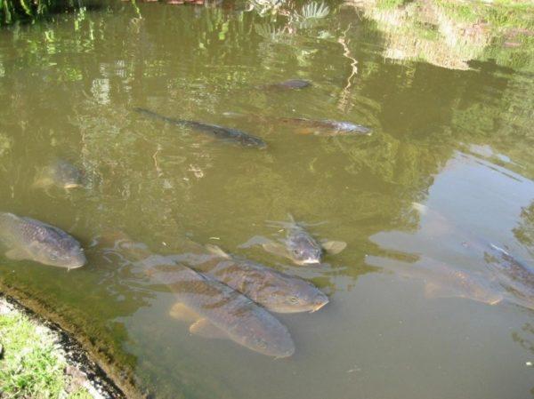 Разведение рыбы в бассейнах