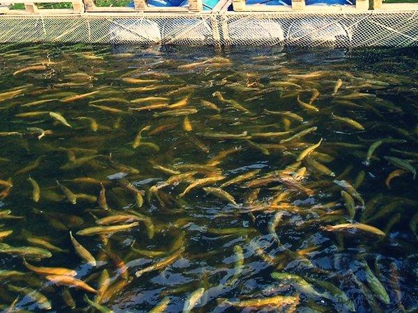 Рыбы в садках