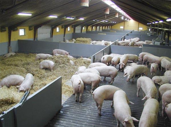 Помещение свинокомплекса