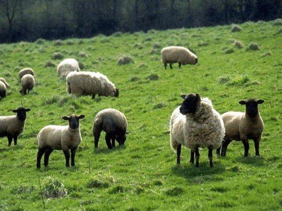 Бизнес-план по разведению баранов на мясо: как начать?