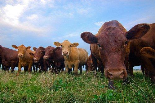 Выращивание бычков