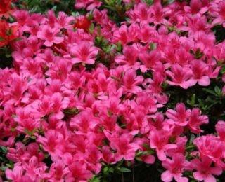 Изображение - С чего начать цветочный бизнес azalija2-e1488125732638-320x260
