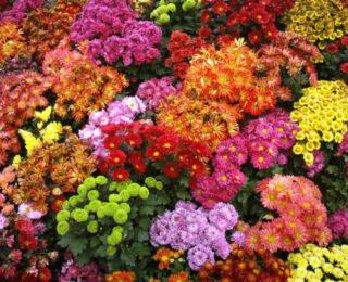 Изображение - С чего начать цветочный бизнес hrizantemy-e1488125757149-320x260
